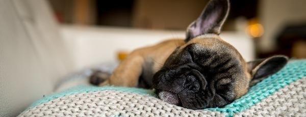 frenchy-dog-1519384180.jpeg