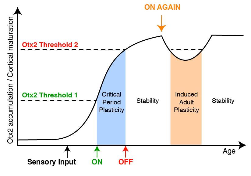 umbral de Otx2